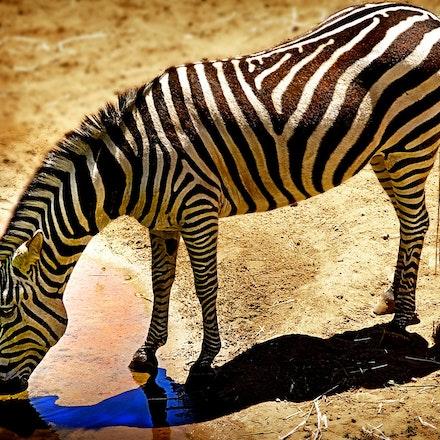 Zebra at Waterhole - A Zebra takes a drink at a waterhole