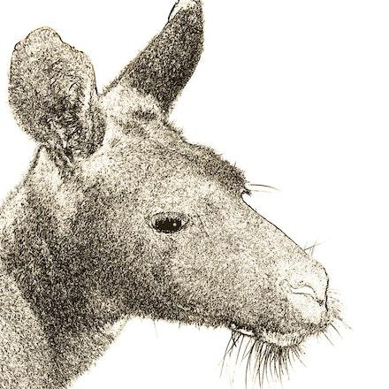 Pencilled_Roo_Portrait - OLYMPUS DIGITAL CAMERA