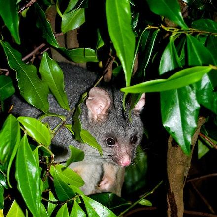 Ringtail_Possum