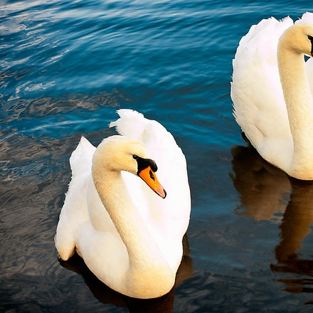 Two Swans - A pair of White Swans near York WA