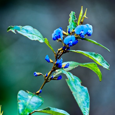 Blue_Wildflower - In the rain near Pemberton WA.
