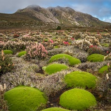 Newdegate Pass, K-Col, Rodway Range/Mt Field NP - Flowering Richea Scoparia, Mount Field National Park, 2017