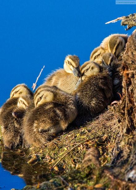 Ducklings on riverbank
