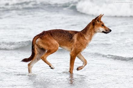 Dingo, Fraser Island, QLD