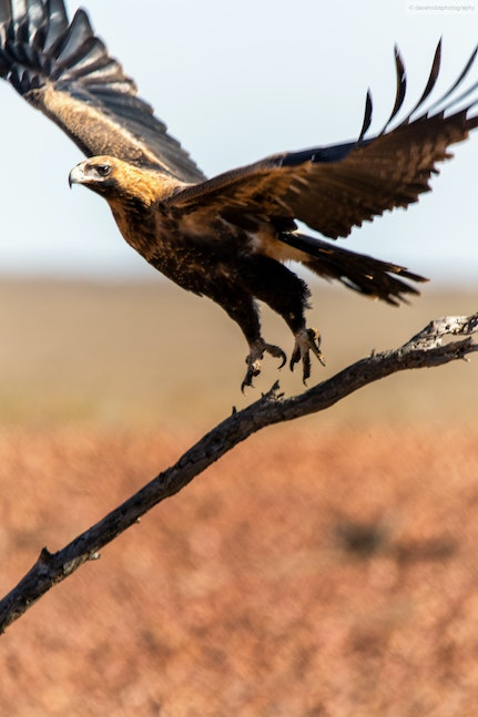 Wedge-tailed Eagle takes flight in Sturt National Park, NSW