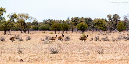 Emus on the run