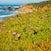 Succulent Blooms, Pescadero Beach