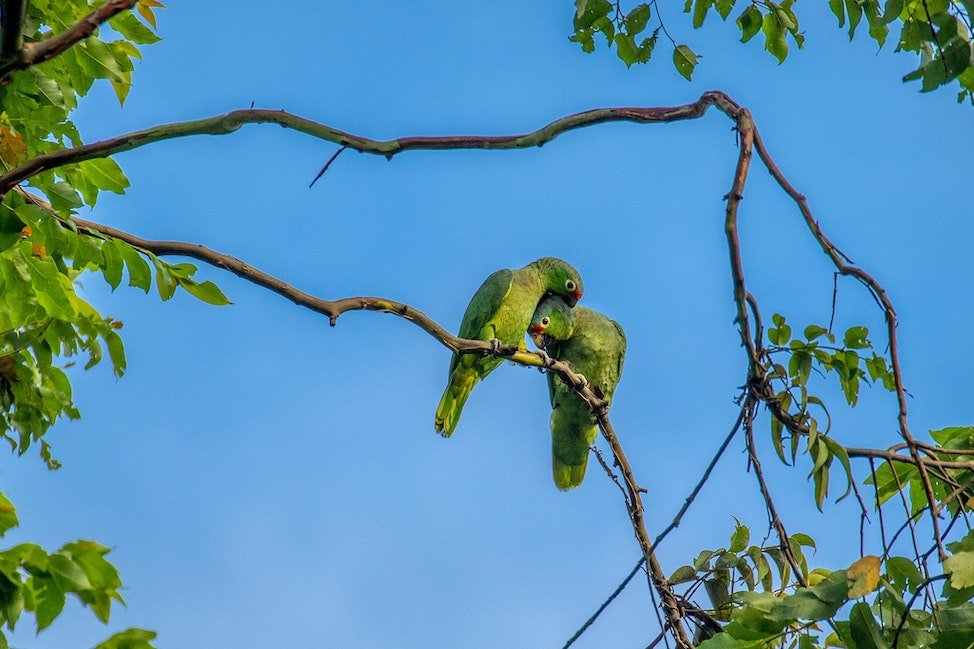 Parrot Love, Red Lored Parrot