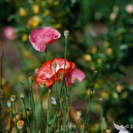 Icelandic Poppies - Icelandic Poppies. Fuji Provia slide film (100 ISO), Canon T90 camera. FD 80-200 f4L lens