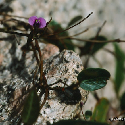 A tiny orchid grows amongst granite in Namadgi NP - Fuji Provia slide film (ISO 100), Canon T90 camera, FD80-200f4L lens