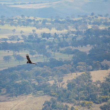 Wedgetail Eagle at Mt. Stromlo - Wedgetail Eagle ( Aquila audax ) off Mount Stromlo, Australian Capital Territory          ( Contax N 70-300 (Conurus conv.)...