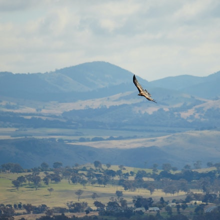 Wedgetail Eagle at Mt. Stromlo - Wedgetail Eagle ( Aquila audax ) off Mount Stromlo, Australian Capital Territory          ( Contax N 70-300 (Conurus conv.)...