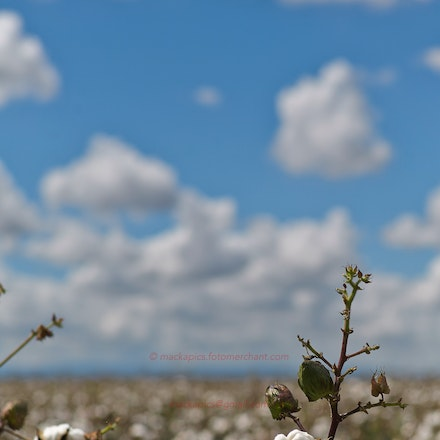 A cotton crop - In Queensland.