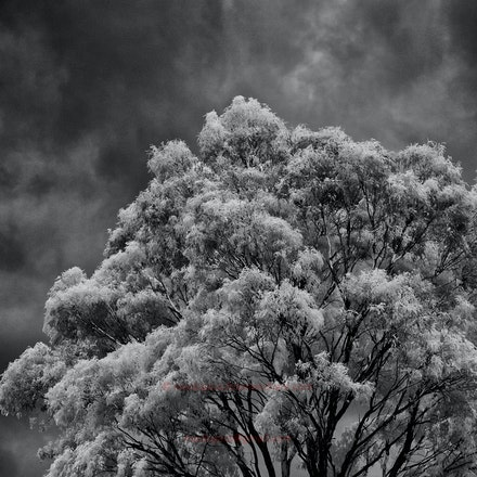 Gum-tree with storm - The storm struck about 30 minutes after this was taken and produced marble-sized hail.