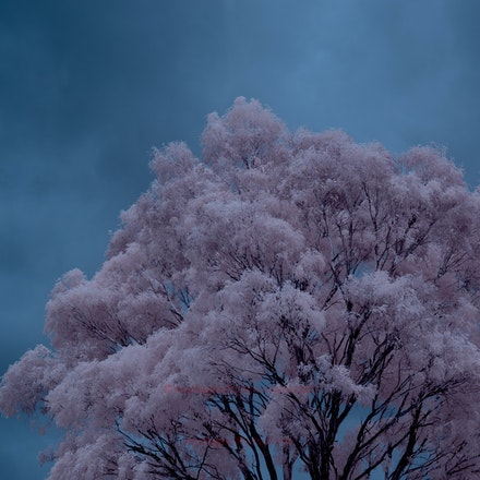 Gum tree with storm  - infrared colour - The storm struck about 30 minutes after this was taken and produced marble-sized hail.