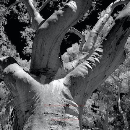 Eucalypt in full sun - National Botanic Gardens, Canberra