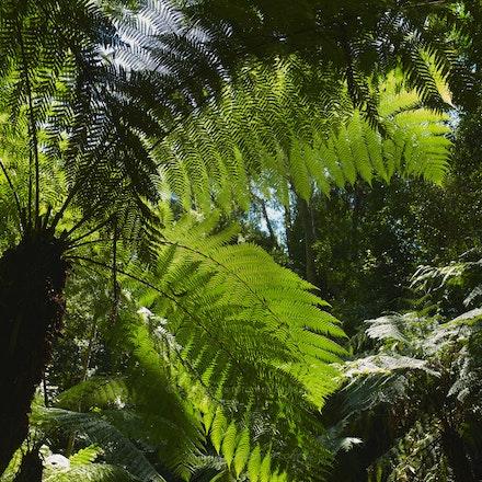 Rainforest tree-fern - Australian National Botanic Gardens (File: L9997376)