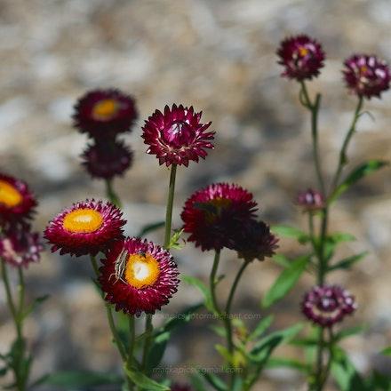 Paper Daisies - Australian National Botanic Gardens