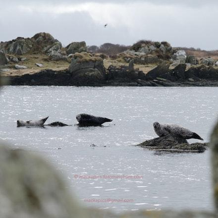 Seals on Islay - Seals basking on the Hebridean island of Islay.