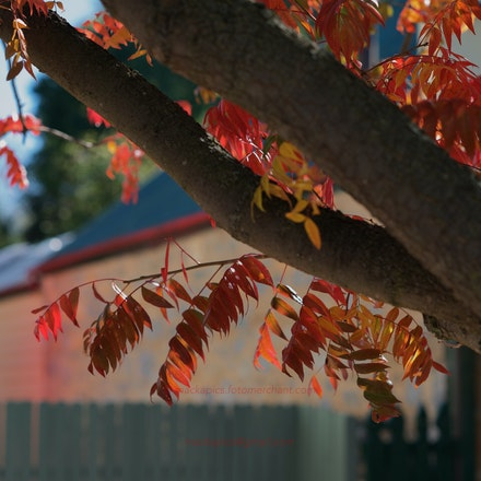 Autumn Leaves, Gunning, NSW - Country NSW