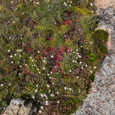 A micro-community of plants on Hyden Rock. - Carniverous and other plants colonise areas on the surface of Hyden Rock where depressions have enabled water...