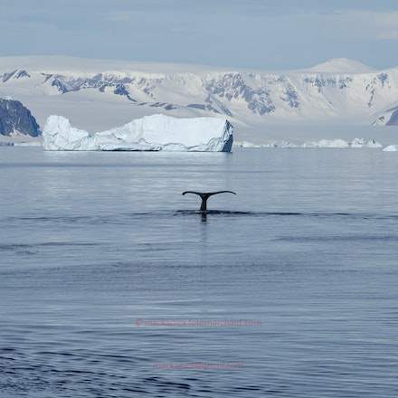 A Humpback Whale diving - One of many Humpback Whales observed in Marguerite Bay.