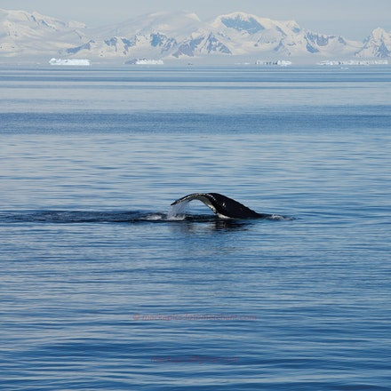 Humpback Whale - Marguerite Bay provided a rich spectacle of pods of Humpback Whales.