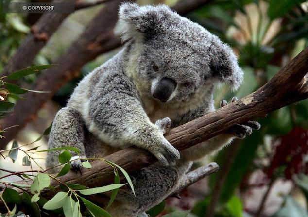Koala -  Currumbin Gold Coast - Sleepy Koala wakes for his afternoon feed in currumbin