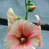 Copenhagen Flower