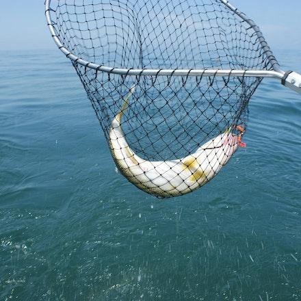 untitled-20110617-467 - Gottcha!  Big walleye!!