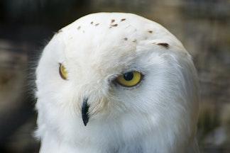 DSC09499 - Snowy Owl, Brack to the Wild