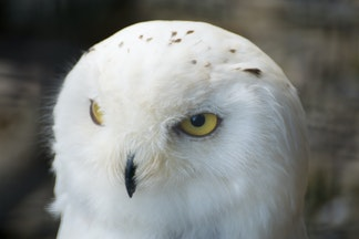 DSC09498 - Snowy Owl, Brack to the Wild