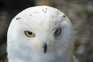 DSC09497 - Snowy Owl, Brack to the Wild