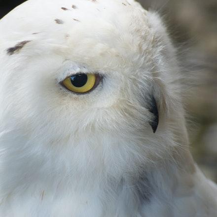 DSC09496 - Snowy Owl, Brack to the Wild
