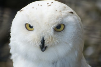 DSC09495 - Snowy Owl, Brack to the Wild