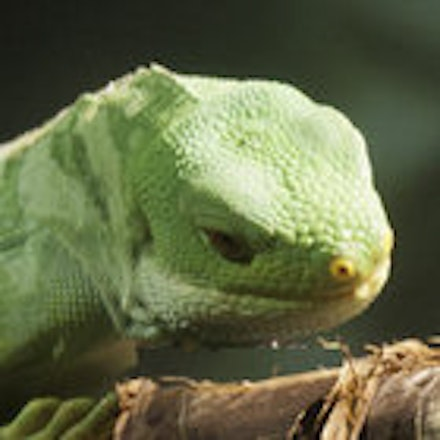 Green Lizard - A green lizard in the Cleveland Zoo Rain Forest.