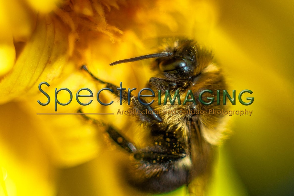 08 - Dahlia Bumblebee 1