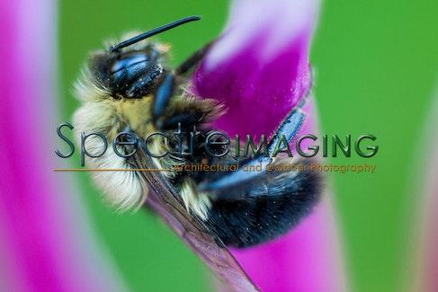 Dahlia Bumblebee 5 - Dahlia Bumblebee 5
