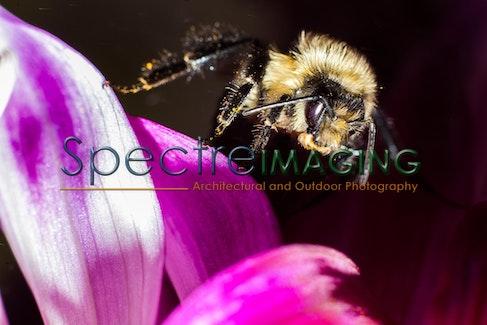 Dahlia Bumblebee 2 - Dahlia Bumblebee 2