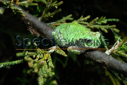 Michigan Tree Frog 1 - Michigan Tree Frog 1