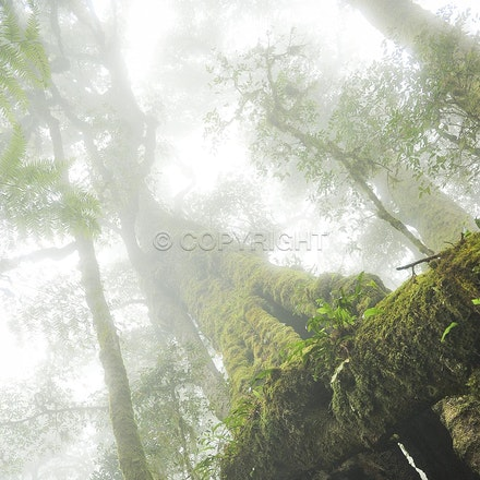 Canopy mists, Lamington National Park