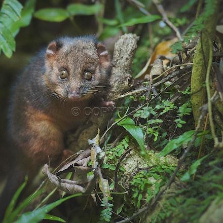 An infant possum at Lamington National Park