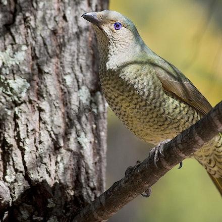 A female bowerbird, Girraween National Park