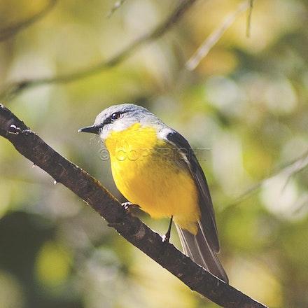 An eastern yellow robin, sunning itself at Girraween National Park
