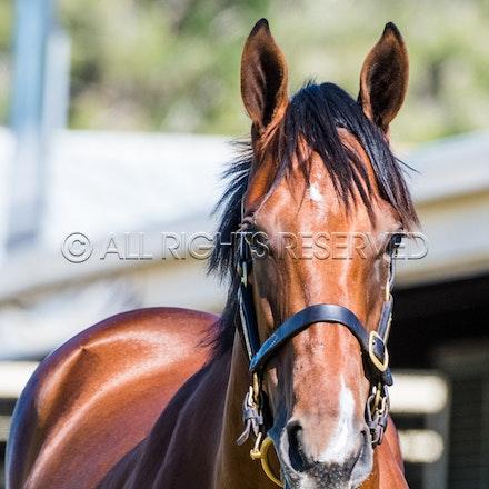 General, Horse Portrait, Newhaven Park_08-01-18, Magic Millions, Sharon Lee Chapman_0276