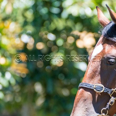 General, Horse Portrait_08-01-18, Magic Millions, Sharon Lee Chapman_0128