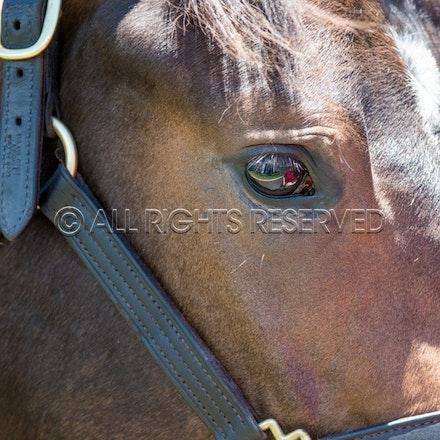 General, Horse Portrait, Newhaven Park_08-01-18, Magic Millions, Sharon Lee Chapman_0283