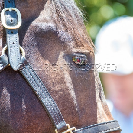 General, Horse Portrait, Newhaven Park_08-01-18, Magic Millions, Sharon Lee Chapman_0282