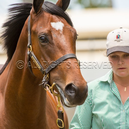 Lot 329, Written Tycoon x Society Barber, Colt, Newhaven Park_11-01-18, MM, SLC_0100