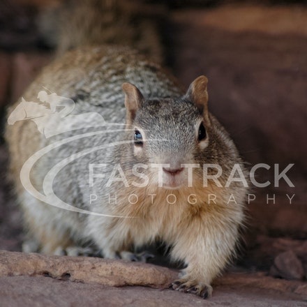 Grand Canyon, Squirrel, Oreo_Limited Edition Prints_001